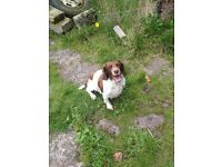 Very Quiet Springer Spaniel Bitch For Sale MUST GET GOOD FAMILY HOME