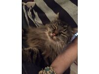 Small fluffy tabby cat missing !!