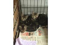 4 tiger kittens