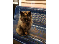 Tortoise shell persian last seen at westminster station