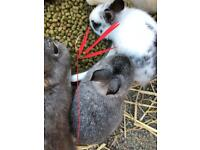 2 male rabbits 9 month old