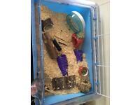 Dwarf hamster +cage+ food+toys