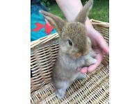 Mini Lop Rabbits: 1 brown doe, 1 brown buck & 1 pale buck