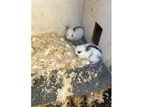 Five 3 weeks old baby bunnys for £20 each and 2 adult rabbits for £10 each