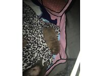 2 SHARPEI PUPPIES FOR SALE 1 BLUE BOY AND 1 LILLAC GIRL