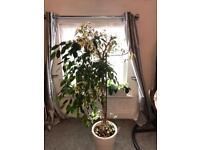 House plants ficus Benjamin