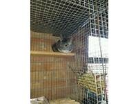 Chinchilla and cage and accessories