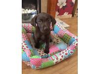 Labrador 11 week