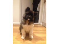 Pure Breed Akita Puppies Now