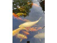 Koi, pond fish