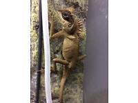 Mountain horn dragon lizard (Capra)