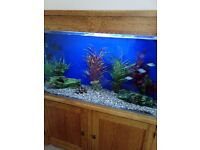 c-dream solid oak cabinet fish tank beautiful includes fluval and fish