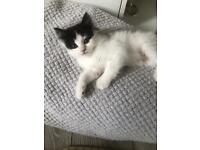 Gorgeous 10 week old Ragdoll x Persian kitten