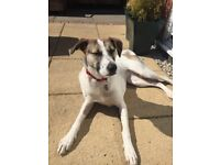 Lovely crossbreed looking for forever home