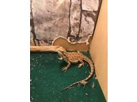 2 stack viv & male gecko &a female bearded dragon