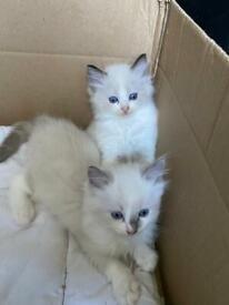 Pedigree rag doll kittens