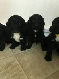 Last two 5 beautiful cockapoo puppies