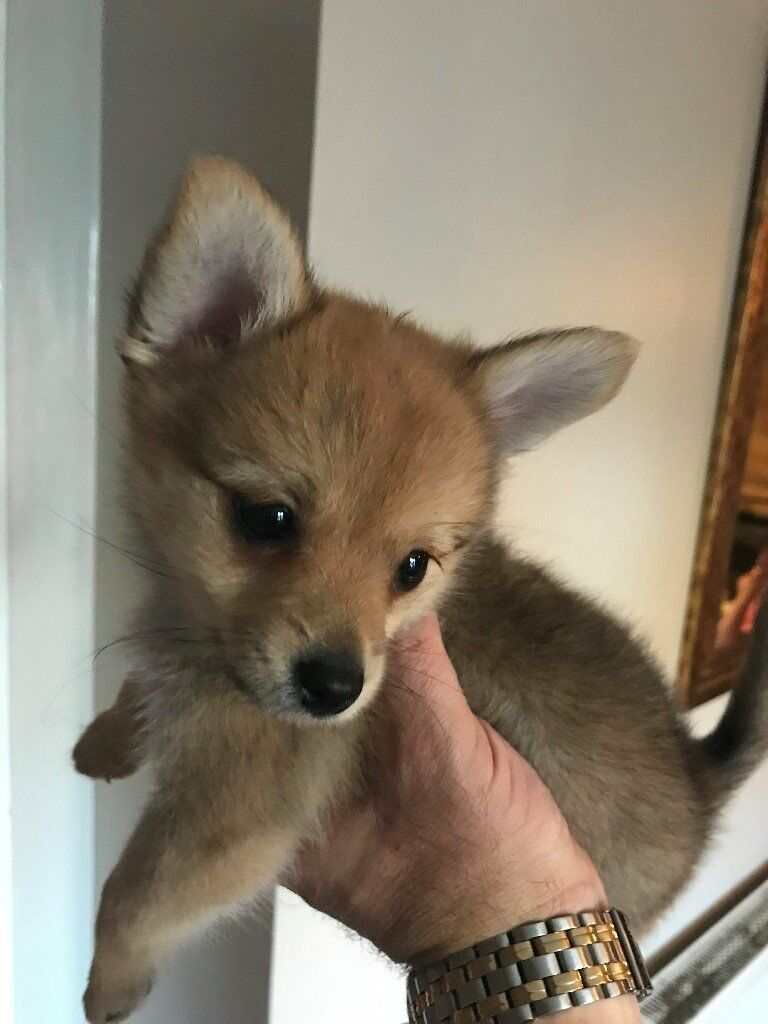 Pomeranian Chihuahua Puppy For Sale Pom Chi In