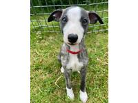 Whippet puppies KC blue brindle