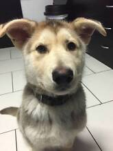 German Shepherd cross with Husky - Puppy (3 months old) Roxburgh Park Hume Area Preview