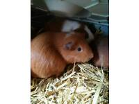 2 Male Guinea pigs and hutch