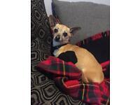 Boy and girl Chihuahua