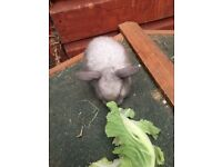Baby mini lops ready to reserve (5 left)