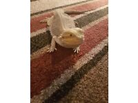 female bearded dragon and 3 ft viv