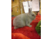 Lilac Netherland Dwarf Buck Bunny