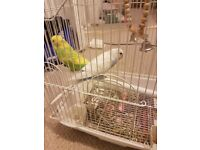 Two Budgies and Bird Cage for sale