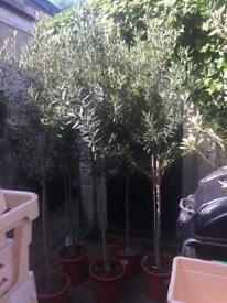 Olive trees around 6ft High atm have 5 available