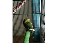 Kakariki with cage