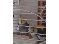 Pair cockatiels, cage ,all accessories