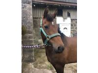 13.2 hh pony for loan