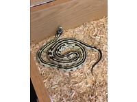 Exo terra vivarium and high white king snake CHEAP