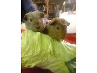 Pair of Guinea Pig Sows, 2 Sisters