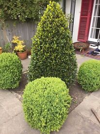 Box Hedge and Bay Topiary