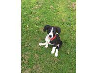 4 month old springer/collie (sprollie) puppy