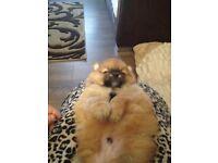 Chunky Pomeranian puppy's