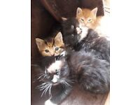 Maine Coon cross and British short hair mixture kittens for sale