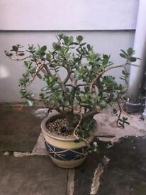 25 year old excellently kept money tree