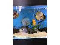 Discus fish clown loach and tetras