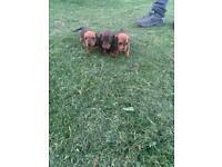KC miniature dachshund puppies