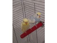 Budgies, Cage & Stand for Sale