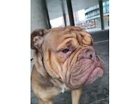 Renny 3 year old olde Tyme bulldog