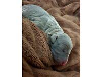 Stunning Blue Whippet Puppies