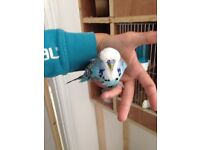 Exhibition budgies for sale **cheap**
