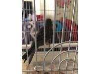 Male canary female for sale