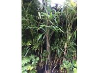 Tall Bamboo Plants, 5,6,7ft £10, £15, £20