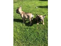 Georges French bulldog puppies